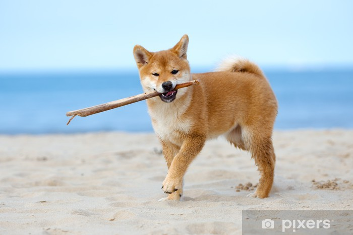 red shiba inu puppy playing with a stick